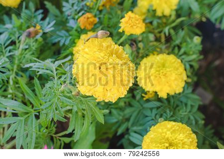 Bright Yellow  Marigolds