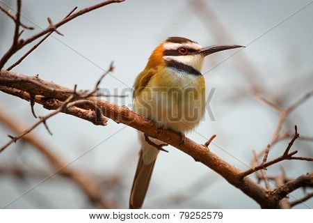 Bird on a branch - White-throated bee eater