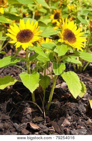 a Dwarf two sunflower on graden .