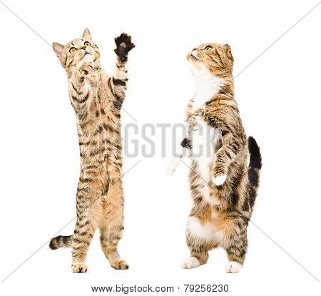 Two cats standing on his hind legs