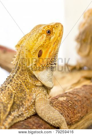 Close Up Of Bearded Dragon.