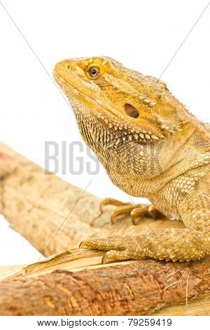 Close Up Of Bearded Dragon Isolated On White.