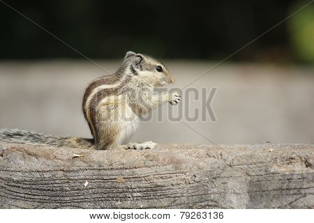 Little Rodent Eating An Acorn