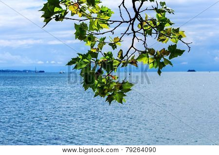 Maple tree by the lake