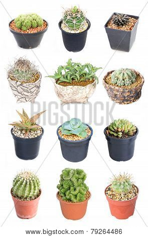 Set of 15 variety Cactus potted plants isolated on white.