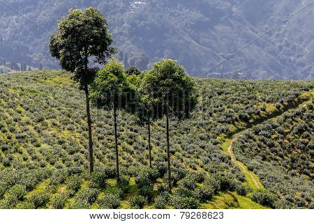 Trees and Tea Plantation
