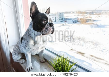 French bulldog looking through the window