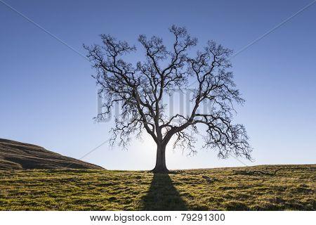 Leafless California White Oak in winter.