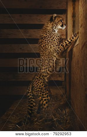 Baby Cheetah looking into the window on dark background