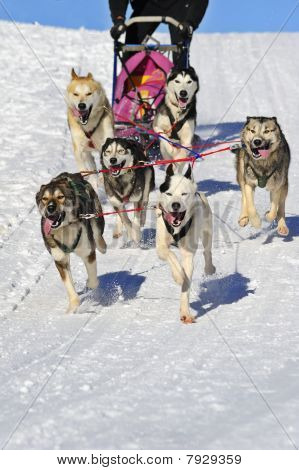 Sled Dog Team In Action. Space For Text In The Snow Below Them.