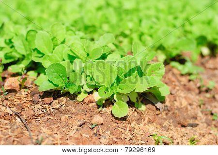 Fresh Leafy Garden Greens