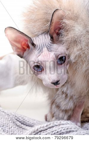 Canadian sphynx cat with  luxurious fur and wool