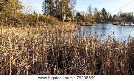 Bull reeds around a suburban lake
