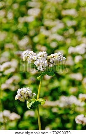 Buckwheat blooming on the field