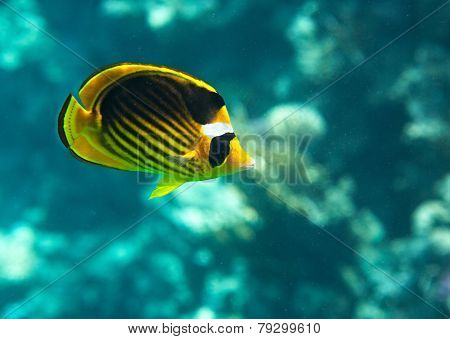 Diagonal-lined butterflyfish
