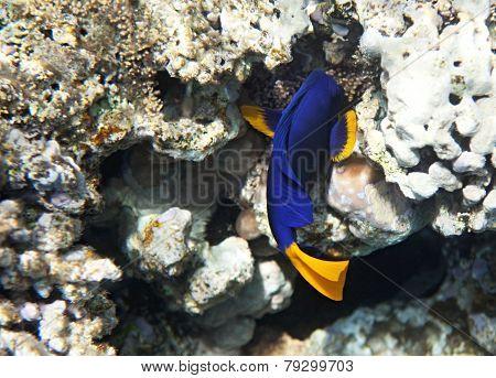 Yellowtail tang