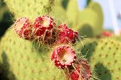 pic of nopal  - Ripe Prickly pair cactus and violet fruit