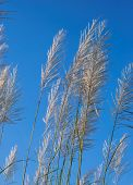 stock photo of pampas grass  - colored pampas grass flower panicles with blue sky and white clouds in background - JPG