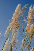 stock photo of pampa  - Light golden colored pampas grass flower panicles with pale blue sky and white clouds in background - JPG