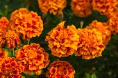 picture of marigold  - Marigold Flower Or Tagetes Patula Blossom image - JPG