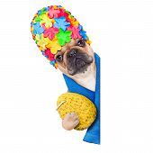 stock photo of bathing  - french bulldog dog ready to have a bath or a shower wearing a bathing cap holding a sponge beside a white and blank banner or placard isolated on white background - JPG