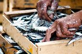 pic of fishermen  - Fisherman packing fresh fish in the wooden box on a fishing boot - JPG