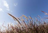 image of pampas grass  - Pampas grass in front of blue sky - JPG