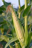 stock photo of corn stalk  - ear of corn on the stalk - JPG