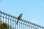 picture of mockingbird  - Tropical Mockingbird on steel fence against blue sky.