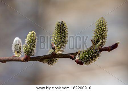 Willow Closeup