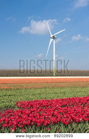 Dutch Colorful Tulip Fields With Wind Turbines