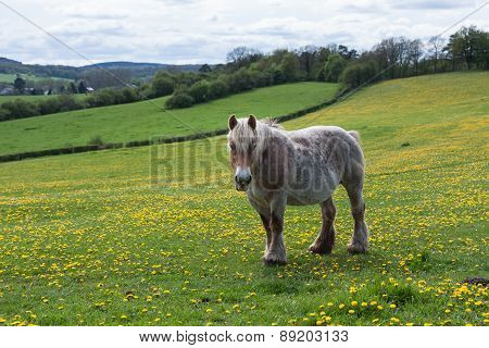 Horse In Meadow Covered With Yellow Dandelions