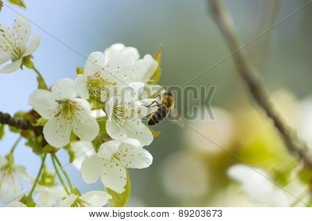 Bees Pollinate White Flowers In Spring
