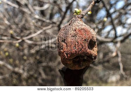 Withered on branch autumn pear