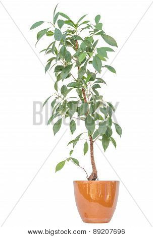 Lemon Bush Tree