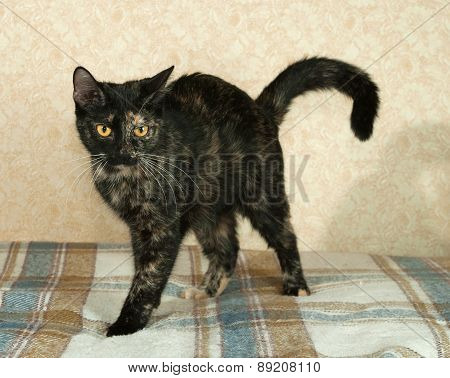 Tortoiseshell Cat Standing On Plaid Blanket