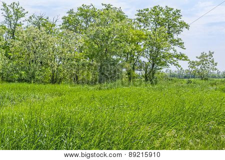 Green Field And Flowering Acacia Trees