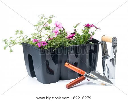 Plastic flower box with fresh flowers and gardening hand tools shot on white background