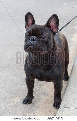 domestic dog black French Bulldog breed standing