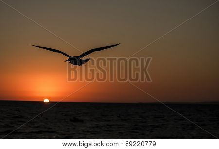 Seagull flying into the sunset.