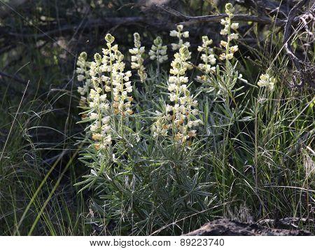 Sulphur Lupine - Lupinus sulphureus