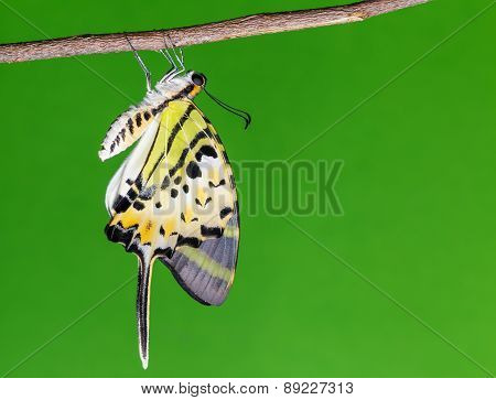 Five Bar Swordtail Butterfly (antiphates Pompilius)