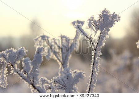 Grass in hoarfrost close up