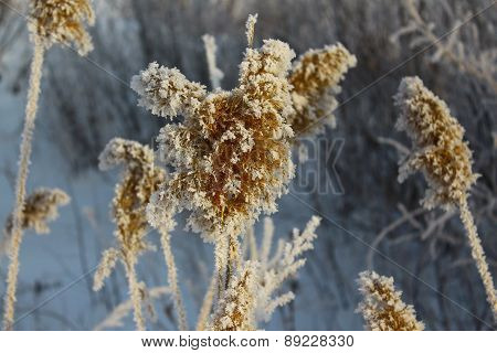 Spikes in hoarfrost close up