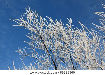 Branches of trees in hoarfrost against the blue sky
