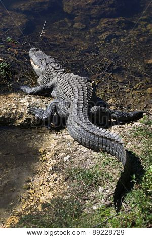 Large Alligator Enters Water - Big Cypress National Preserve