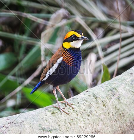 Male Malayan Banded Pitta