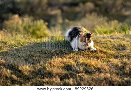 Portrait of pet cat in sunlight on grass stalking hunting and watching