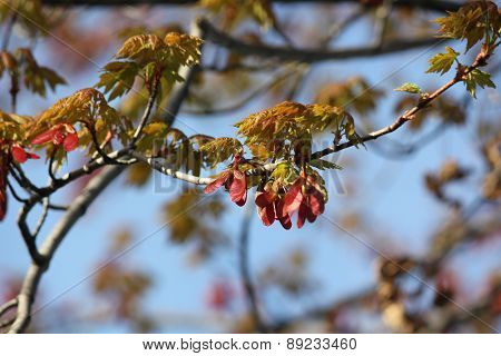 Red Maple Leaves flowering in spring with seed pods starting to form