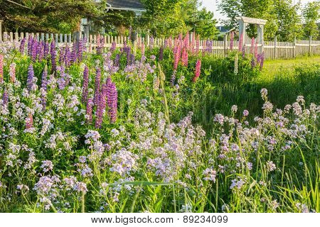 Garden of wildflowers, lupins and phlox (sweet rocket) alongside a fence.